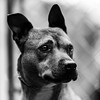 Bethany18Nov201720-Edit.jpg (fredstrobel) Tags: dogs pawsatanta phototype atlanta blackandwhite usa animals ga pets places pawsdogs decatur georgia unitedstates us