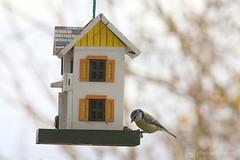 birdhouse 11-2017 (photos4dreams) Tags: birdhouse112017p4d blaumeise bluetit photos4dreams photos4dreamz p4d vogelhaus vogel bird birdy meise birdhome herbst autumn rotkehlchen robin mysecretgarden