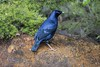 Satin Bowerbird (Geoffsnaps) Tags: ptilonorhynchusviolaceus satinbowerbird satin bowerbird feathers beautiful ilovebirds ilovenature birds animals nature beautyofnature birdsarebeautiful superbbirds nikond810 nikon d810 fx nikonnikkor200500mmf56eedafs nikkor 200500mm f56e e ed afs acratechpanoramichead acratech panoramic head gitzogm5541carbonmonopod gitzo gm5541 carbon monopod oreillys greenmountain queensland australia