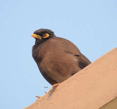 The staring contest is on!! (Vidya...) Tags: myna stare yellow beak brown feathers eye glare