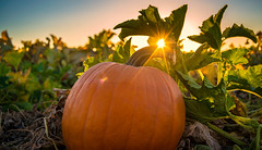Happy Thanksgiving! (Amazing Aperture Photography) Tags: pumpkin pumpkinpie harvest farm agriculture pumpkinpatch autumn fall thanksgiving holiday fun celebrate joy sunlight nikon nikond800