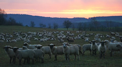 count.... (Wöwwesch) Tags: sheep count sleep dream sunrise landscape trees clouds colour sunset morning tree sony gras ilce6000 sonyalpha colours