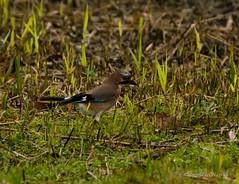 _DSC1984 (AngelPixCn) Tags: angepixcn birds farm feeding green heron jay nikond7100 pond wings yellow cardiff wales unitedkingdom gb