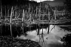Tierra del Fuego, Argentina (pas le matin) Tags: wood trees forest forêt bois arbres tree river rivière grass serene water reflaction reflection travel voyage landscap landscape paysage argentina argentine patagonia patagonie tierradelfuego terredefeu troncs trunks canon 5d 5dmkiii eos5dmkiii canon5d canon5dmkiii canoneos5dmkiii