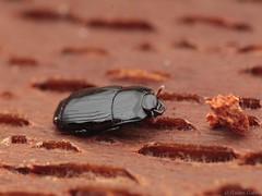 Platysoma compressum (Radim Gabriš) Tags: coleoptera histeridae platysoma platysomacompressum