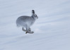 On the move.... (Ginger Snaps Photography) Tags: mountain mountainhare hare wild scotland highland snow nature cold winter