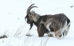 Feral goat (blootoonloon1( No to Badger Cull)) Tags: wild wildlife feral goats animal mammal nature scotland snow winter highlands colours