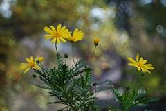 Flores en otoño, Zaragoza noviembre 2017 (joseange) Tags: flowers nature yellow meyeroptik trioplan bokeh
