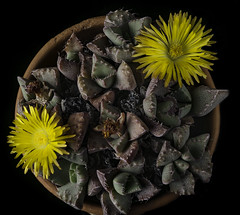 Potted Succulent Plant With Yellow Flowers (Bill Gracey 17 Million Views) Tags: succulent succulents succulentflowers offcameraflash softbox homestudio macrolens blackbackground perspex tabletopphotography fleur flower flowers flores yellow yongnuo yongnuorf603n