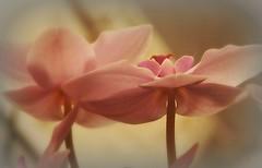 Bon week end...! (kate053) Tags: fleurs