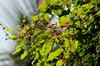 অনন্তলতা (Antigonon leptopus) (Saniya Ruby) Tags: flower dhaka অনন্তলতা antigononleptopus dhakaversity lateautumn