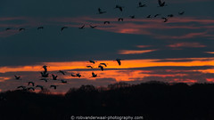 Sunrise and Cranes (robvanderwaal) Tags: france zonsopkomst invlucht sunrise nature dawn birds inflight rvdwaal bif vogels robvanderwaalphotographycom 2017 commoncrane frankrijk grusgrus bird kraanvogel natuur morgenrood vogel twilight schemer outdoor birding wildlife