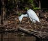 Scratch it (tfhammar) Tags: snowy egret grooming wading bird hillsborough river tampa florida kayaking