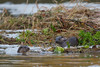 Disagreement between Otters (3 of 3) (Robin M Morrison) Tags: otter otters riverstour dorset quarrelsome quarrel