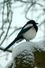 Magpie (tim ellis) Tags: snow suttonpark towngate bird magpie picapica birmingham uk