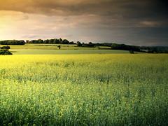 Racton Ruins (david.hogan7) Tags: landscape south downs west sussex rape seed field tree sunset racton ruins farm