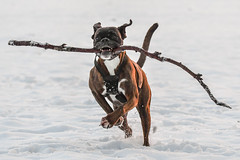 is this one big enough (Paul Wrights Reserved) Tags: dog pet run running snow winter fun animal strong strength happy pets action mammal