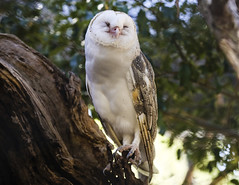 Barn Owl Smirk (whereiscarmensd) Tags: owl barn barnowl smile wild wildlife travel outdoors australia park animal animals bird birds nature natural native