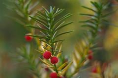 Prelude for Christmas (Baubec Izzet) Tags: baubecizzet pentax bokeh nature red green macro dreams flickrunitedaward