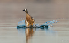 Blue winged Teal (salmoteb@rogers.com) Tags: bird duck wild outdoor takeoff water lake toronto canada ontario blue winged teal