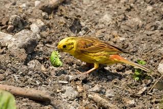 Bruant jaune / Yellowhammer