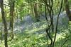 1476 BOIS FLEURI SUR SARK (rustinejean) Tags: rustine bois forest foret fleur flower arbres nature ile sark serk