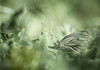 Dreamland butterfly (Dan Österberg) Tags: butterfly insect grass bokeh nature macro vegetation blurry creative gray green white ground