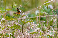 Butterfly (Theresa Hall (teniche)) Tags: 2017 australia bellarinepeninsula canberra december december2017 mcleodswaterholereserve nikon nikond750 teniche theresa theresahall victoria butterflies butterfly creative insect insects landscape reserve summer zoom