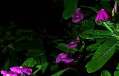 _MG_2874.CR2 (jalexartis) Tags: vinca bloom blooms flower flowers night nightphotography nightshots lighting camranger rain raincover diy
