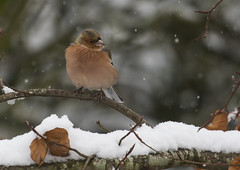 Chaffinch - I really could do without this! (Ann and Chris) Tags: winter snow garden chaffinch canon7dmarkii bird birdphotography avian nature tree wildlife