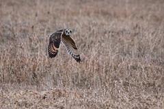 Short Eared Owl (NicoleW0000) Tags: shortearedowl owl flight birdinflight birdofprey nature wild wildlife photography