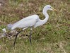Great White Egret (mosesharold) Tags: 1y3a55861 antigua caribbean egrets