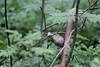 Summer memories. 1 (Laima B.) Tags: birds bird birdphotography birdwatching birdlover beautiful birding summer memories forest green nature outdoors ecologist biologist canon canon600d 55250 phylloscopus warbler passerine eating