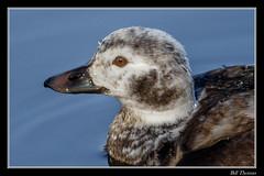 Long-tailed Duck-5 (billthomas_steel) Tags: longtailedduck duck bird britishcolumbia fraservalley wildlife canon canada eos7dmarkii winter clangulahyemalis waterfowl