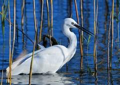 Fishing in the reeds (gillybooze (David)) Tags: teleconverter14 ©allrightsreserved bird egret birdwatcher littleegret water reeds reflections outdoor ripples 600mmf4