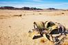 Welwitschia mirabilis, plante endémique de la Namibie (Voyages Lambert) Tags: africa aridclimate awe botany clearsky desert dirt drought dry endemic famine heat land lifestyles loneliness namibdesert namibia nature perennial rock sand sanddune toughness unconscious warmingup welwitschia mirabilis waterless