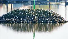 Möwenpick (antje whv) Tags: altrhein brienen vögel möwen birds gulls hafen port