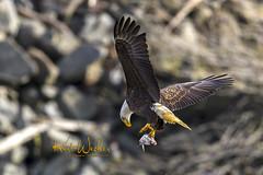 Yup Got It (ThruKurtsLens.com) Tags: 2017 baldeagle eagle fallcolors fish flying kurtwecker nature naturephotographer talons thrukurtslenscom wildlifephotographer wildlifephotography