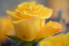Golden Blooms (Ptolemy the Cat) Tags: rose blooms yellow flowers nikond600 tamronf2890mmmacrolens