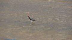 DSC04915 (Matthew283) Tags: bolvar wildlife 11182017 reddish egret