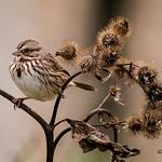 Bruant chanteur / Song Sparrow thumbnail