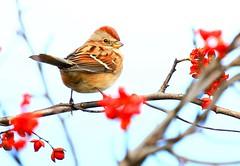 American tree sparrow on American bittersweet at Cardinal Marsh IA 854A6834 (lreis_naturalist) Tags: american tree sparrow bittersweet cardinal marsh winneshiek county iowa larry reis