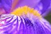 out of this world (rondoudou87) Tags: pentax k1 macro color couleur close closer jardin garden crop flower fleur purple violet yellow jaune