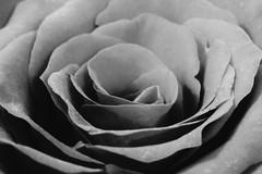 Red rose using my Macro tubes 🌷😁 (LeanneHall3 :-)) Tags: blackandwhite rose rosepetal petals closeup closeupphotography macrotubes macro canon 1300d