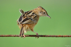 Watching - Observando (Yako36) Tags: portugal peniche ave bird birdwatching nature natureza nikonafs300f4 nikond7000