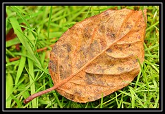 """One Single Leaf..."" (NikonShutterBug1) Tags: macro closeup nikond7100 nature spe smartphotoeditor leaf foliage tamron60mmmacro autumn"