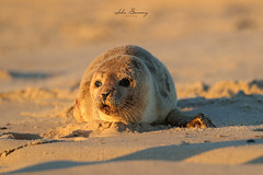 Seal Pup (johnbacaring) Tags: seal sealpup newjersey jerseyshore