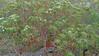 Angophora costata_10 (Tony Markham) Tags: angophoracostata sydneyredgum rustygum smoothbarkedapple blushing orange red pink colour color myrtaceae tree flowering flower inflorescence wisestrack royalnationalpark
