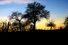Silhouette against the sunset (Notquiteahuman1) Tags: tree silhouette sunset evening blue black golden warmlight walk vineyard cold nikond610 fx fullframe nikkor nikkor2885mm3545af sky clouds detail contrast