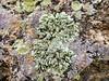 20171202 Foliose Lichens on A Mountain in Tucson (lasertrimman) Tags: 20171202 lichens a mountain tucson imafunguysoimlikinthis foliose